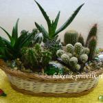 Композиция из комнатных растений кактусы